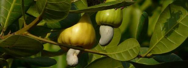 Tons of cashew nuts distributed in 2020 and latest news about 2021's